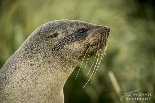Seelöwe Robbe Südgeorgien Südpol
